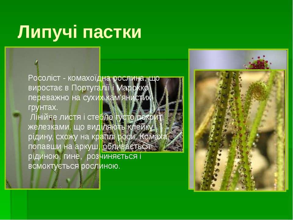 Альдрованда вільно плаває у водоймищі. Її тонке трав'янисте стебло з мутовкам...
