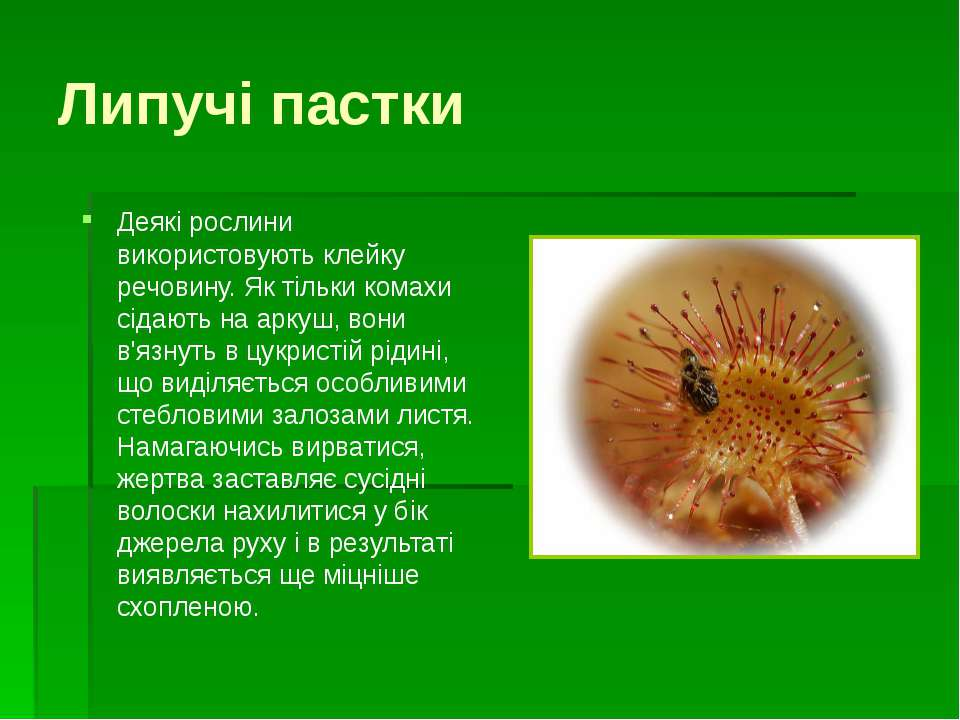 Саррацения Кувшинчики - ловушки Это северо-американское болотное растение. Ло...