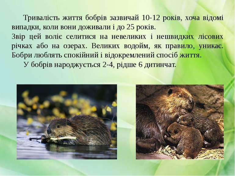 Тривалість життя бобрів зазвичай 10-12 років, хоча відомі випадки, коли вони ...