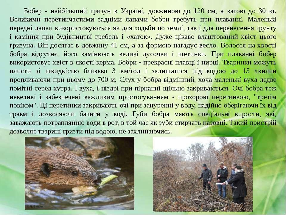Бобер - найбільший гризун в Україні, довжиною до 120 см, а вагою до 30 кг. Ве...
