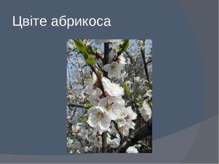 Цвіте абрикоса