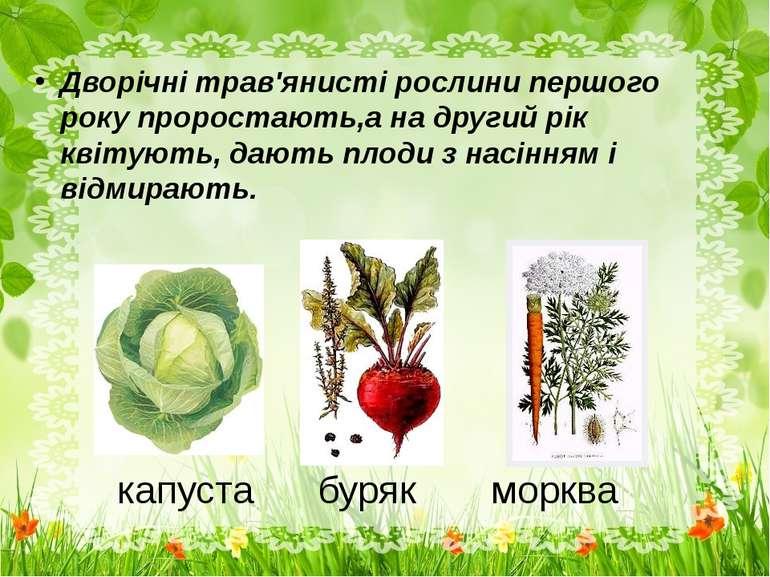 капуста буряк морква Дворічні трав'янисті рослини першого року проростають,а ...