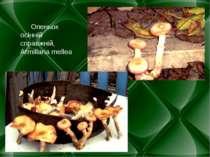 Опеньок осінній справжній, Armillaria mellea