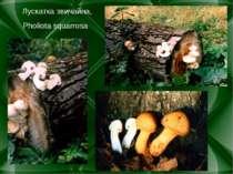 Лускатка звичайна, Pholiota squarrosa