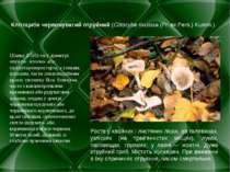 Клітоцибе червонуватий отруйний(Clitocybe rivulosa(Fr. ex Pers.) Kumm.) Шап...