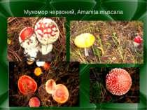 Мухомор червоний, Amanita muscaria