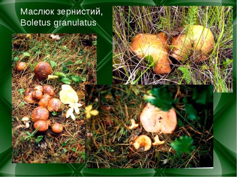 Маслюк зернистий, Boletus granulatus