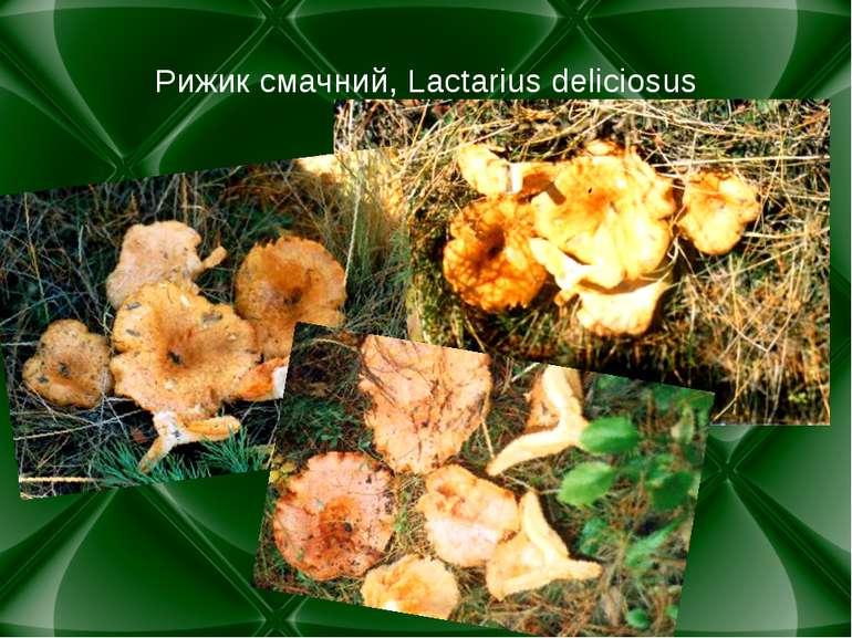 Рижик смачний, Lactarius deliciosus