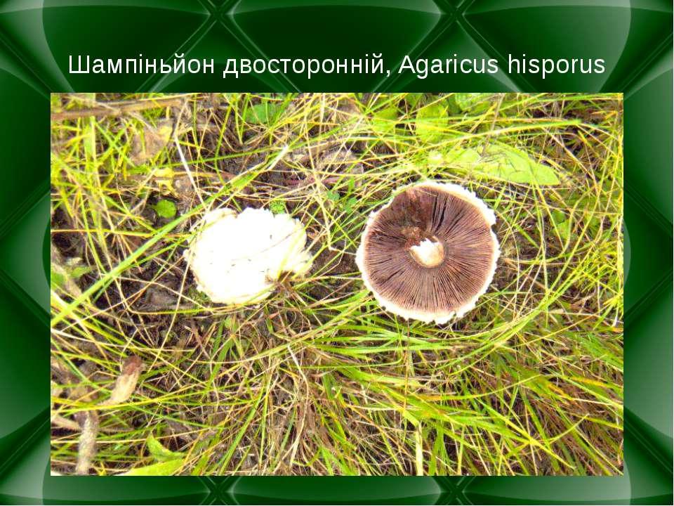 Шампіньйон двосторонній, Agaricus hisporus
