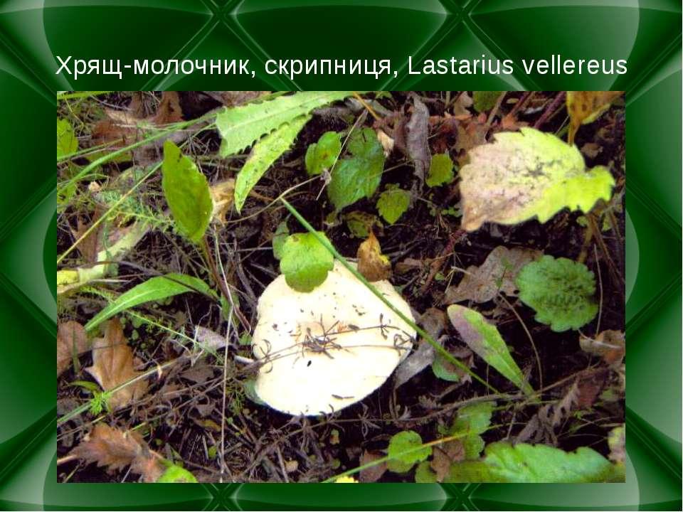 Хрящ-молочник, скрипниця, Lastarius vellereus