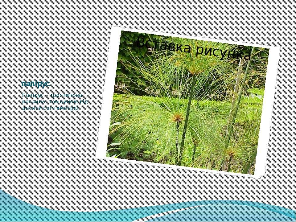 папірус Папірус – тростинова рослина, товщиною від десяти сантиметрів.