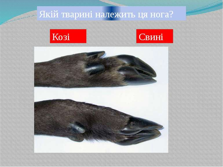 Якій тварині належить ця нога? Жирафі Корові
