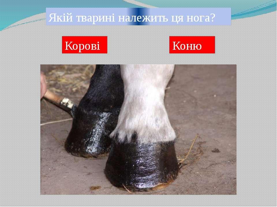 Якій тварині належить ця нога? Корові Оленю