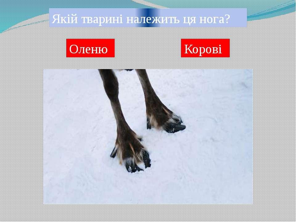 Якій тварині належить ця нога? Свині Козі