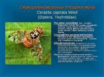 Середземноморська плодова муха Ceratitis capitata Wied (Diptera, Tephritidae)...