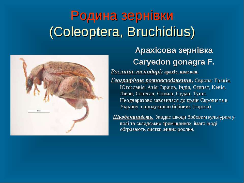 Родина зернівки (Coleoptera, Bruchidius) Арахісова зернівка Caryedon gonagra ...