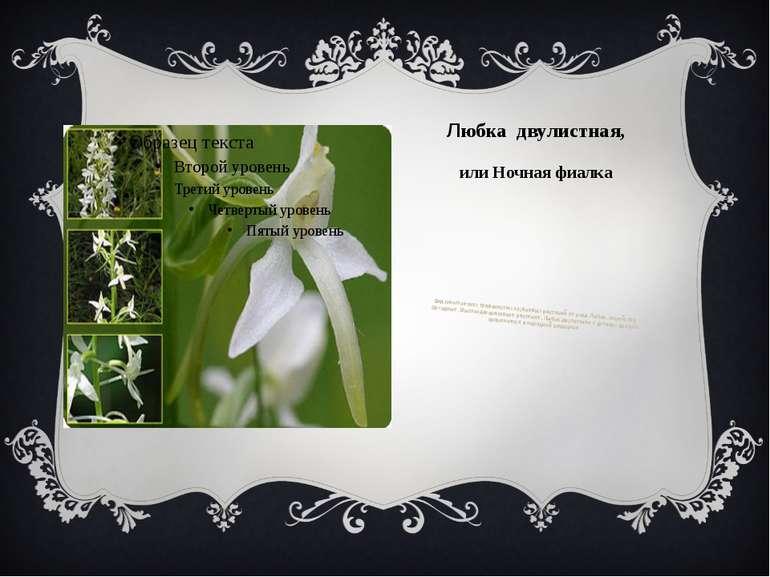 Любка двулистная, или Ночная фиалка Вид многолетних травянистых клубневых рас...