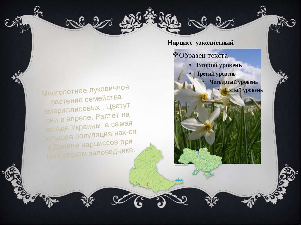 Нарцисс узколистный Многолетнее луковичное растение семейства амариллисовых ....