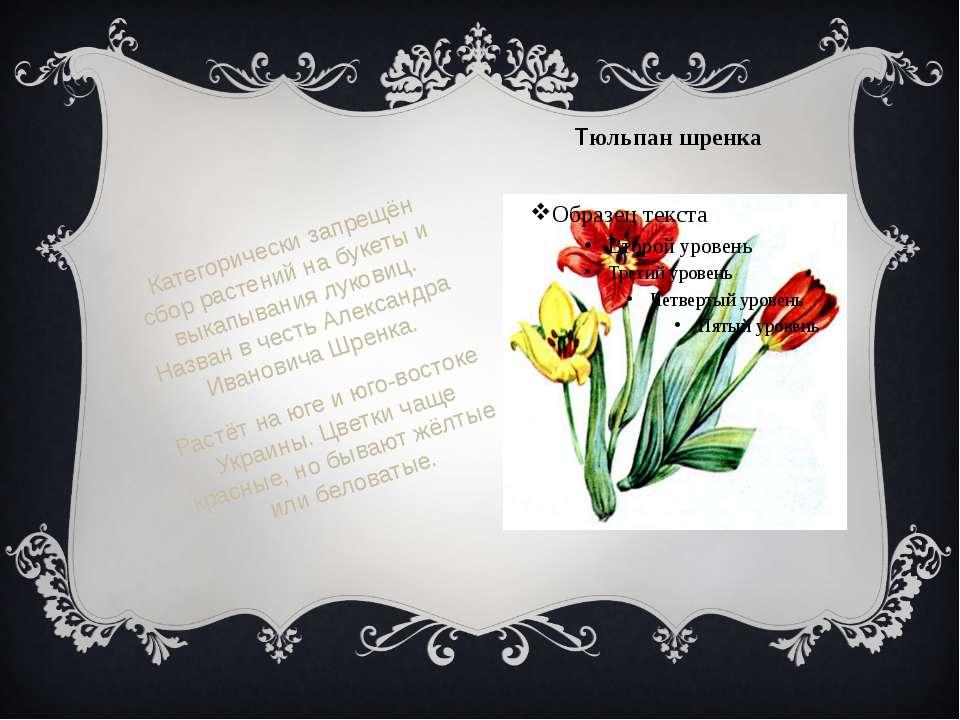 Тюльпан шренка Категорически запрещён сбор растений на букеты и выкапывания л...