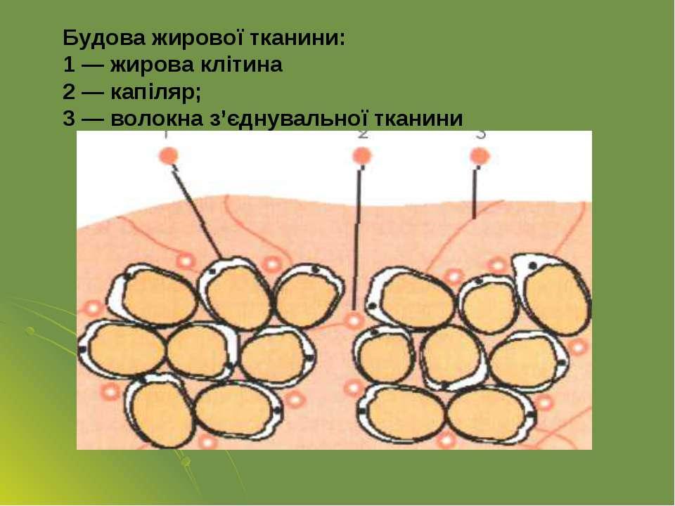 Будова жирової тканини: 1 — жирова клітина 2 — капіляр; 3 — волокна з'єднувал...