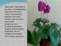 Цикламен. Трав'яниста рослина з потовщеними коренями. Квіти на довгих квіткон...