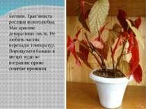 Бегонія. Трав'яниста рослина вологолюбна. Має красиве декоративне листя. Не л...
