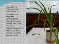 Хлорофітум. Трав'янистий багаторічник з потовщеними коренями і прикореневим л...