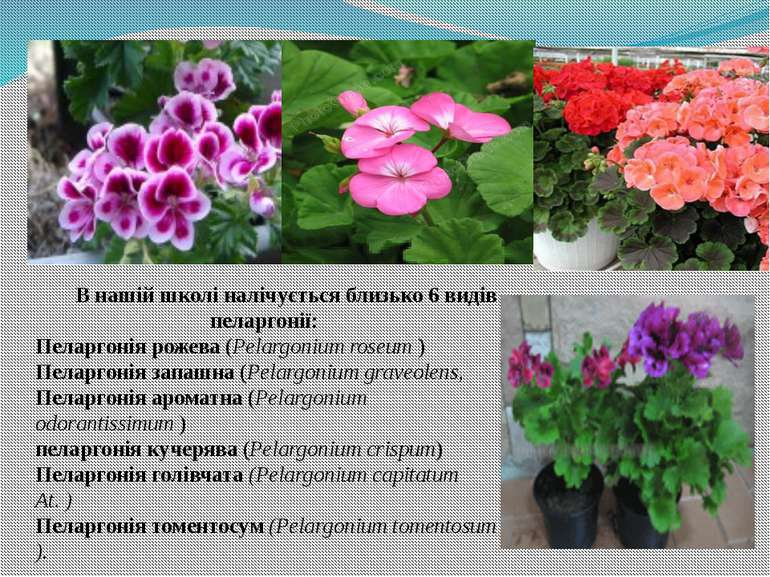 В нашій школі налічується близько 6 видів пеларгонії: Пеларгонія рожева (Pela...