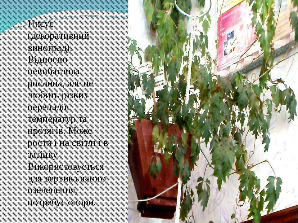 Цисус (декоративний виноград). Відносно невибаглива рослина, але не любить рі...