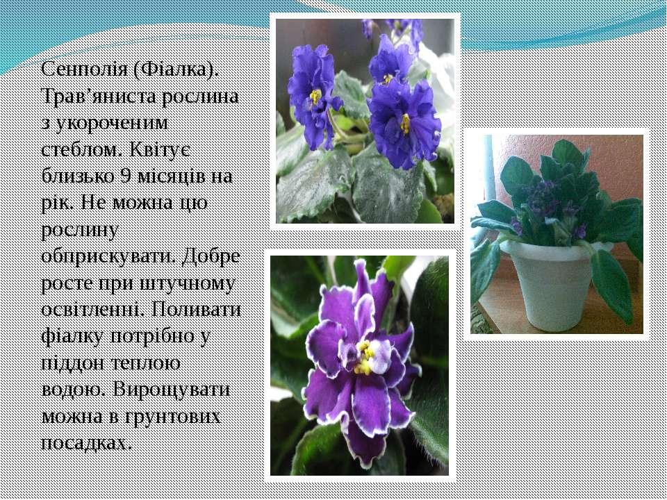Сенполія (Фіалка). Трав'яниста рослина з укороченим стеблом. Квітує близько 9...