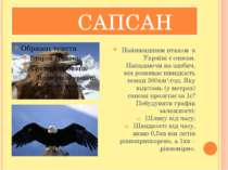 САПСАН Найшвидшим птахом в Україні є сапсан. Нападаючи на здобич, він розвива...