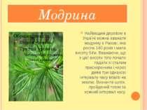 Модрина Найвищим деревом в Україні можна вважати модрину в Рахові, яка росла ...