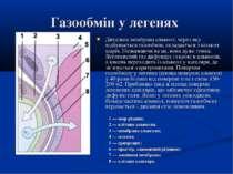 Газообмін у легенях Дихальна мембрана альвеол, через яку відбувається газообм...