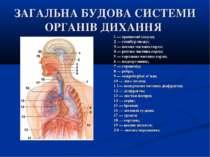 ЗАГАЛЬНА БУДОВА СИСТЕМИ ОРГАНІВ ДИХАННЯ 1 — приносові пазухи; 2 — стовбур моз...