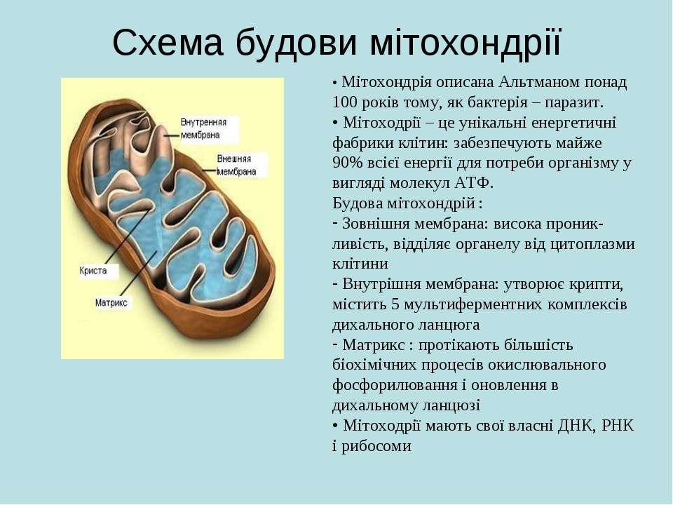 Схема будови мітохондрії • Мітохондрія описана Альтманом понад 100 років тому...