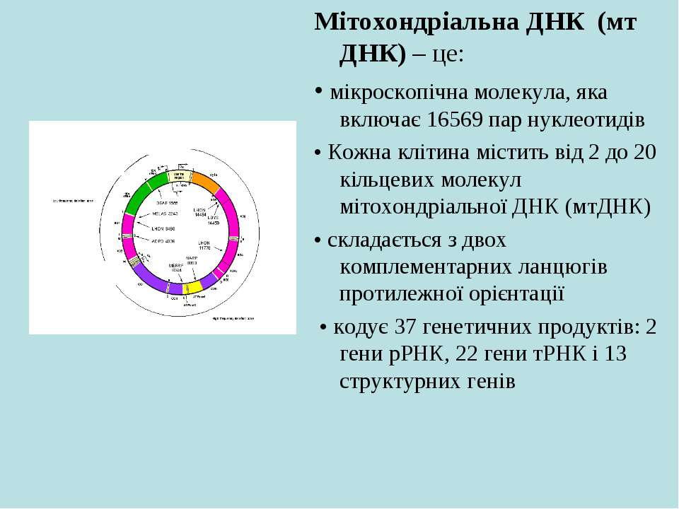 Мітохондріальна ДНК (мт ДНК) – це: • мікроскопічна молекула, яка включає 1656...