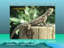 ЗОВНІШНЯ БУДОВА ЯЩІРКИ 1 – голова, 2 – тулуб, 3 – хвіст, 4 – передні кінцівки...