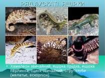РЯД ЛУСКАТІ. ЯЩІРКИ Хамелеон звичайний, ящірка прудка, ящірка перлинна, сцинк...