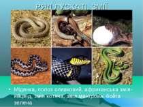 РЯД ЛУСКАТІ. ЗМІЇ Мідянка, полоз оливковий, африканська змія-яйцеїд, змія кот...