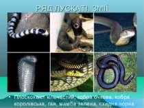 РЯД ЛУСКАТІ. ЗМІЇ Плоскохвіст кільчастий, кобра очкова, кобра королівська, га...