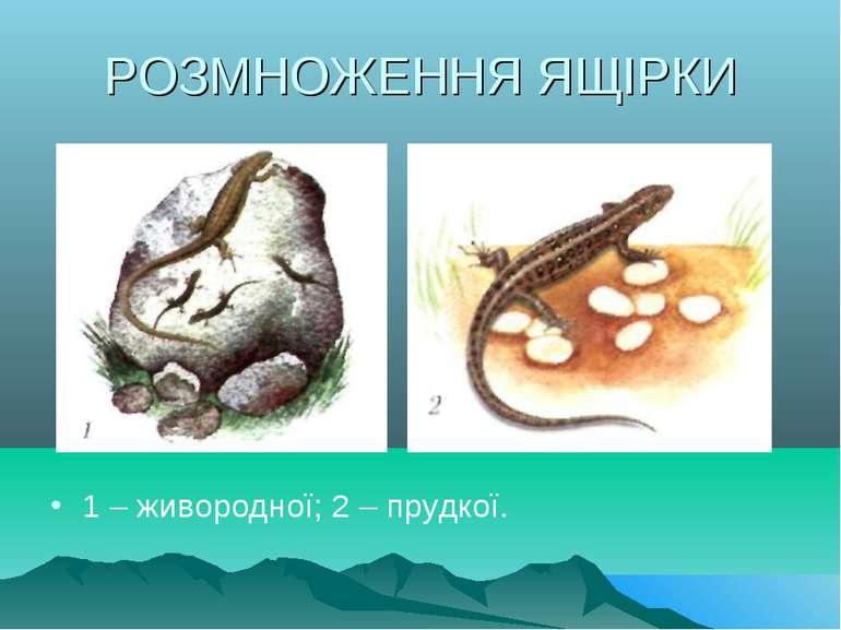 РОЗМНОЖЕННЯ ЯЩІРКИ 1 – живородної; 2 – прудкої.
