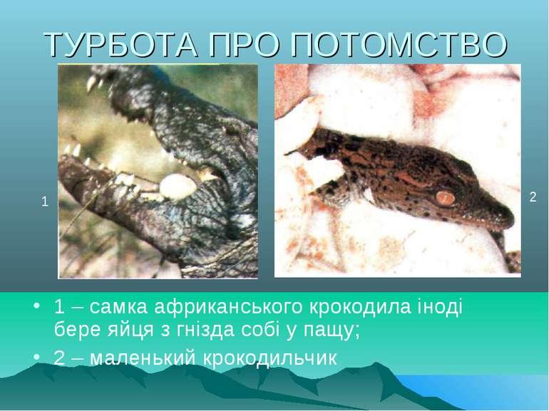 ТУРБОТА ПРО ПОТОМСТВО 1 – самка африканського крокодила іноді бере яйця з гні...