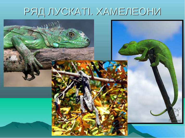РЯД ЛУСКАТІ. ХАМЕЛЕОНИ