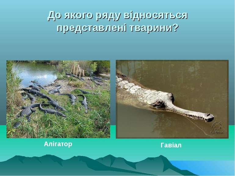 До якого ряду відносяться представлені тварини? Алігатор Гавіал