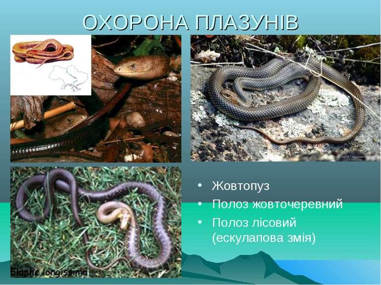 ОХОРОНА ПЛАЗУНІВ Жовтопуз Полоз жовточеревний Полоз лісовий (ескулапова змія)