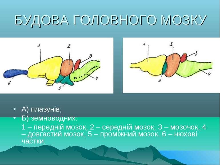 БУДОВА ГОЛОВНОГО МОЗКУ А) плазунів; Б) земноводних: 1 – передній мозок, 2 – с...