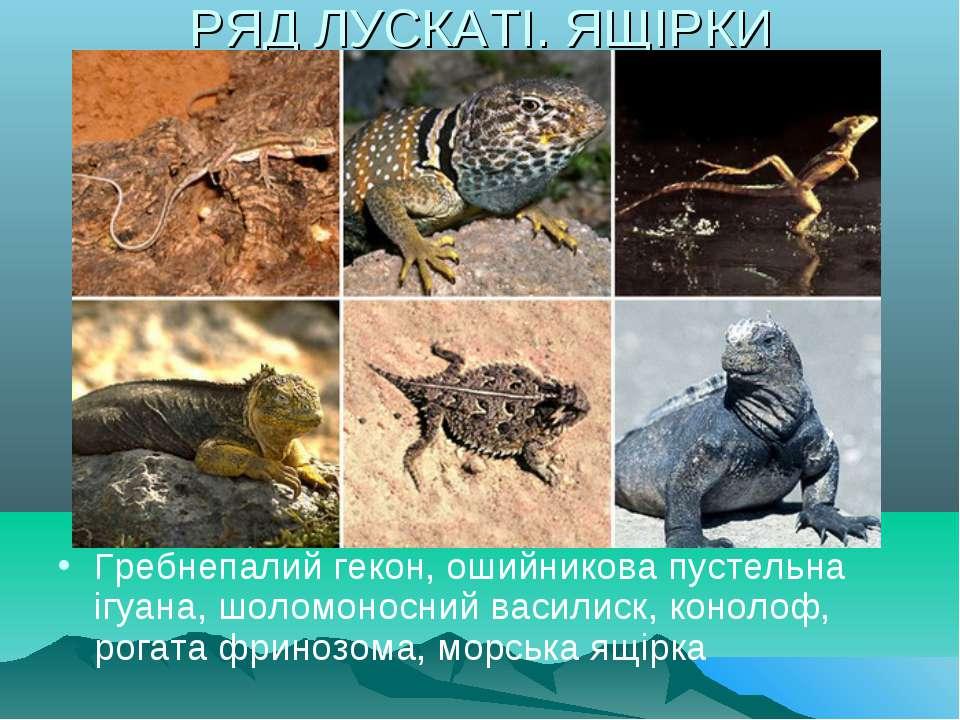 РЯД ЛУСКАТІ. ЯЩІРКИ Гребнепалий гекон, ошийникова пустельна ігуана, шоломонос...