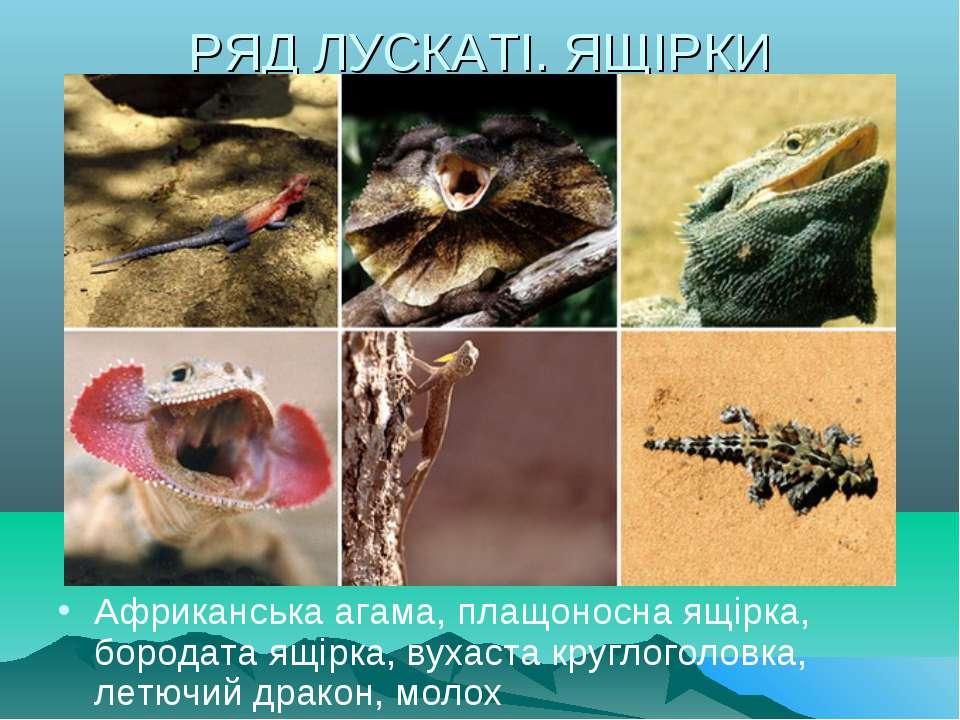 РЯД ЛУСКАТІ. ЯЩІРКИ Африканська агама, плащоносна ящірка, бородата ящірка, ву...