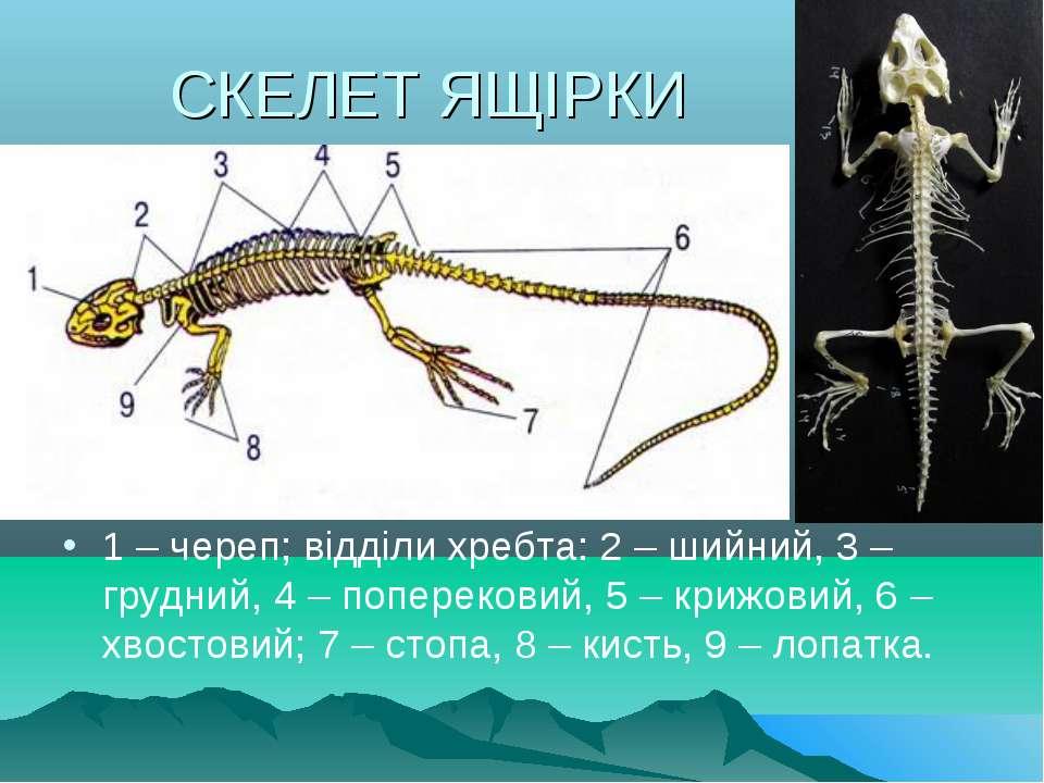 СКЕЛЕТ ЯЩІРКИ 1 – череп; відділи хребта: 2 – шийний, 3 – грудний, 4 – поперек...