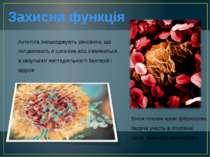 Захисна функція Антитіла знешкоджують речовини, що потрапляють в організм або...